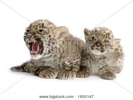 Filhote de leopardo-persa (2 meses)