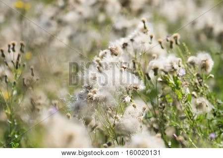 green grass in summer disperses white fluffy seeds