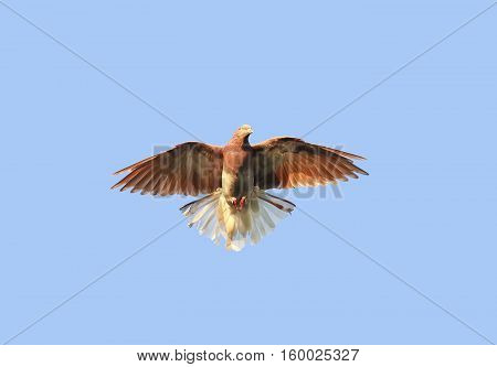 beautiful redhead dove soars high in the blue sky widely spread its wings