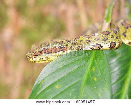 Small green Eyelash Viper (Bothriechis schlegelii) hidden in a tree foliagein the rain forest of Panama