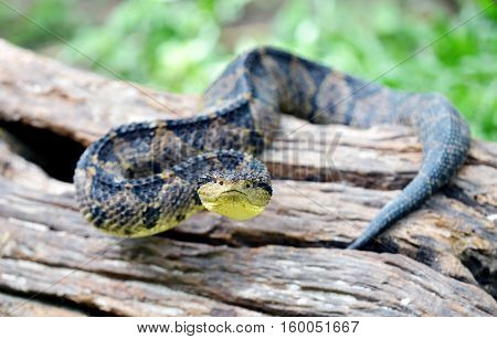 Close up of a jumping Pit Viper on top of a fallen tree trunk
