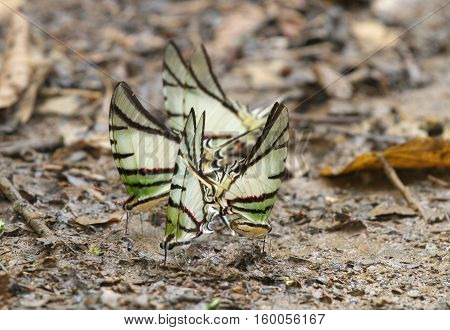 Several butterflies feeding on mud in the forest ground
