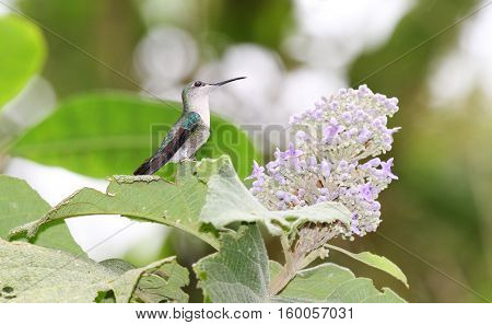 Female White-vented Plumeleteer getting ready to feed from a flower