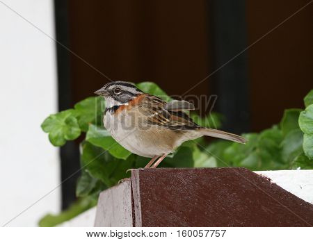 rufous-collared sparrow perched on a window flower pot holder
