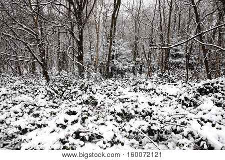 Snow landscape of winter woodland trees in December