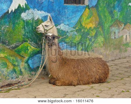 Llamas on Break
