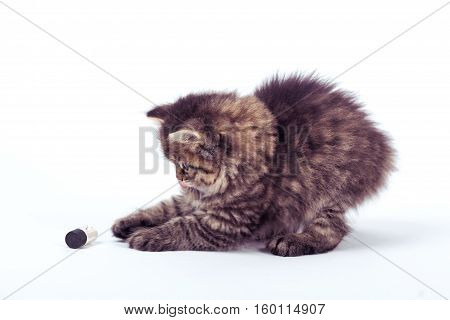 fluffy Siberian cat isolated on a white background.