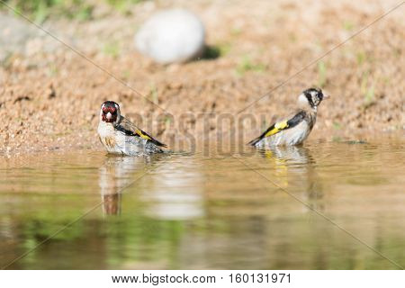 Two bathing European goldfinches in nature water