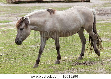 Heck horse (Equus ferus caballus), claimed to resemble the extinct tarpan (Equus ferus ferus).