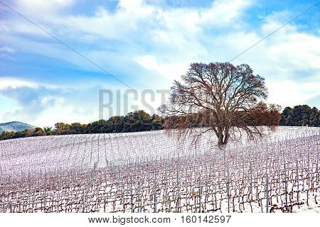 Vineyards rows covered by snow in winter and a tree. Chianti countryside Florence Tuscany region Italy