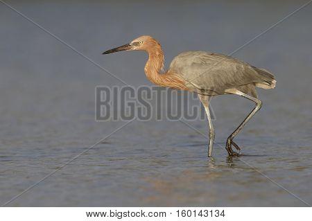Reddish Egret Stalking Its Prey - Florida