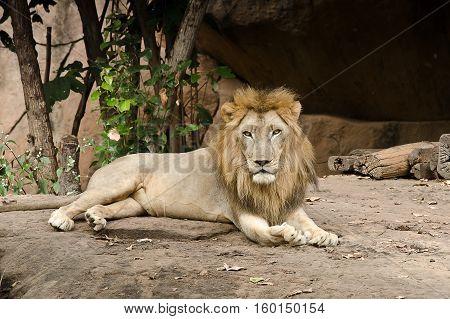 Big Male Lion Lying.portrait Of A Beautiful Lion,