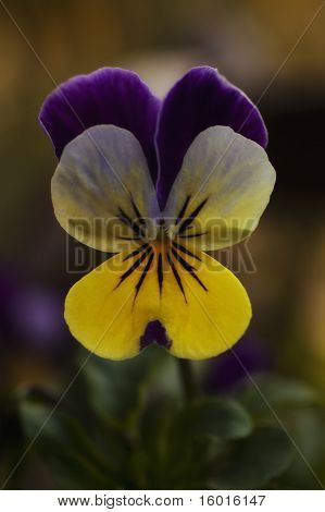 Flower Of Purple And Yellow Pansies