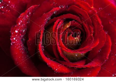 Beautiful Red Rose Close-up. Water Droplets On The Petals. Wedding Background Stock Photo