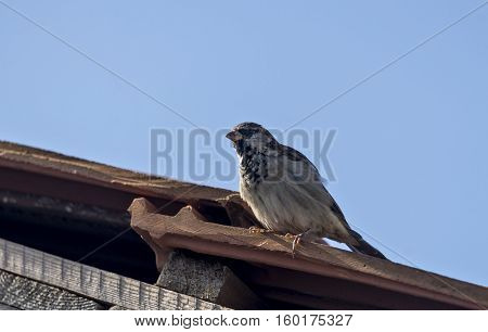 Sparrow on a building roof on a sunny day