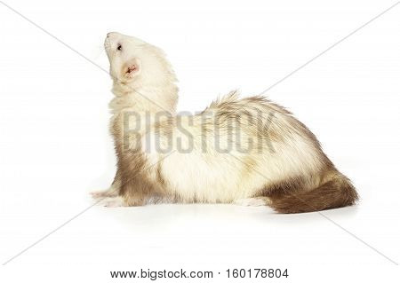 Ferret of champagne color on white background posing for portrait in studio