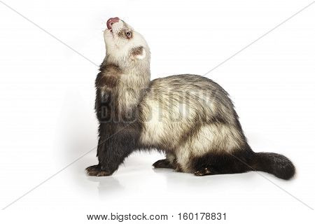 Ferret staying on white background posing for portrait in studio