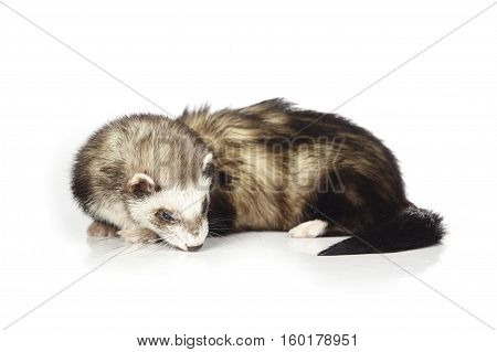 Ferret laying on white background posing for portrait in studio