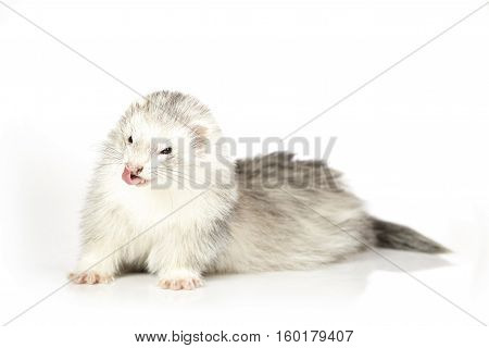 Ferret lady on white background posing for portrait in studio