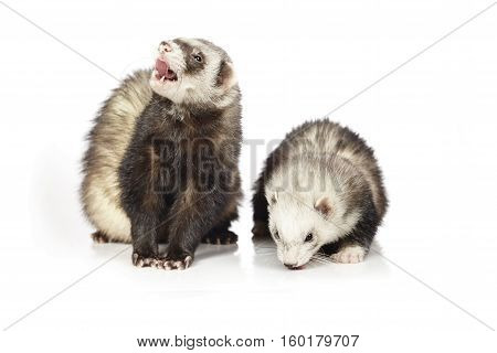 Couple of ferrets on white background posing for portrait in studio