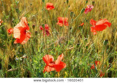 Poppy With Rye
