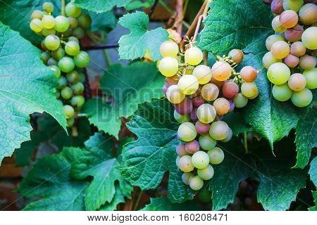 Bunches of fresh wine grapes. Ripe grape growing at wine fields. Bunches of wine grapes hang from a vine. Shallow depth of field. Selective focus.