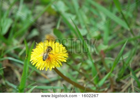 Taraxacum Officinale And Bee