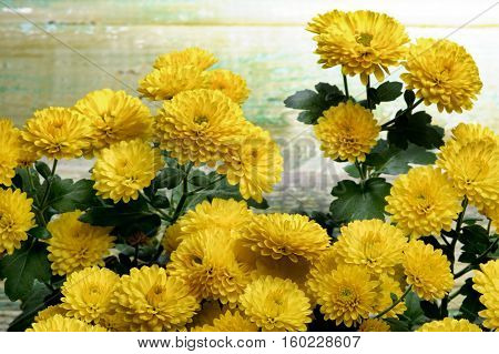 Bunch of Beauty Small Yellow Chrysanthemum closeup on Green Cracked Wooden background