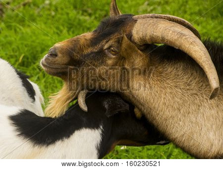 Brotherly love between father goat and goat son