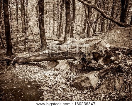 Uprooted trees. Fallen tree in the forest. Vintage Style Toned Picture.
