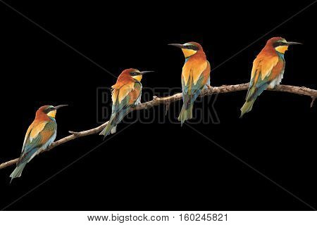 Paradise colored birds sitting on a branch isolated on black, bee-eaters , Merops Apiaster