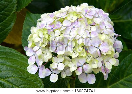 Cluster of purple yellow and white Hydrangea surrounded by green leaves. Hydrangea has long been a popular flowering shrub. The flowers are considered by many as Grandmother's old-time flower.