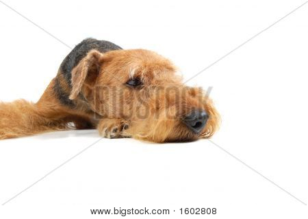 Lying Airedale