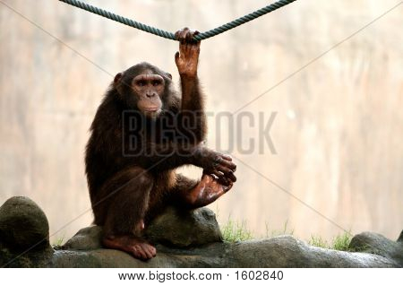 Monkey Looking