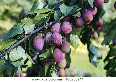 Plum fruits on the branch in autumn in the garden