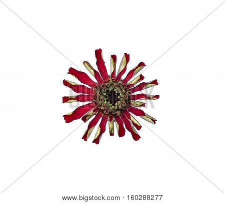 Bright red flower zinnia isolated on white background