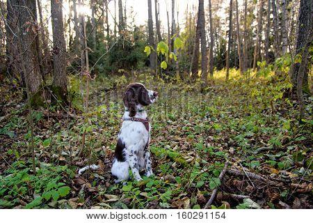 Cute Puppy English Springer Spaniel lying on the nature. Cute Puppy English Springer Spaniel in the fall forest