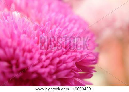 Chrysanthemum bud, closeup