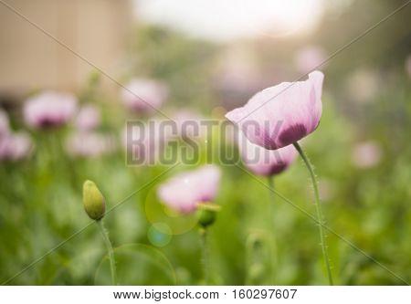 Opium poppy. poppy flower. Poppy. Poppies closeup