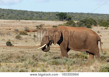 Happy African Elephant Eating Some Grass