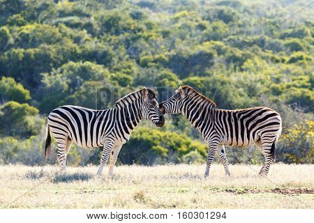 Burchell's Zebra Showing Some Affection