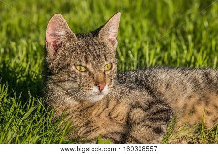 Bored, stuffed and lazy cat is lying on the green grass in a sunny day and observes surroundings