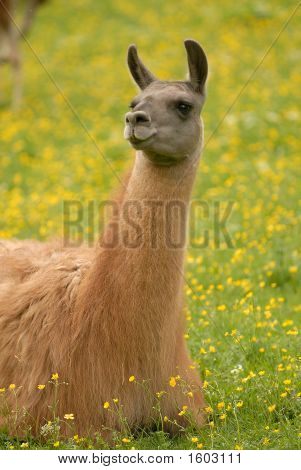 Llama On The Grass