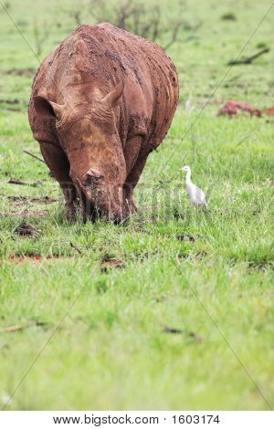 Mud Encrusted Rhinoceros Eating Green Grass On A Rainy Day