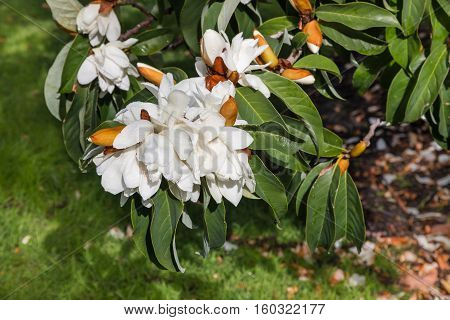 closeup of sweet Michelia flowers and buds