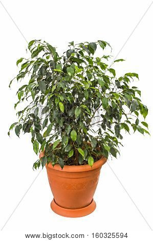 Ficus benjamina isolated on a white background