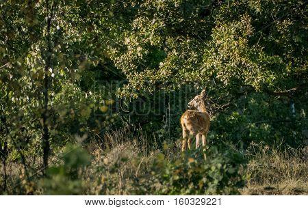 Roe deer - A roe deer standing in the sun.