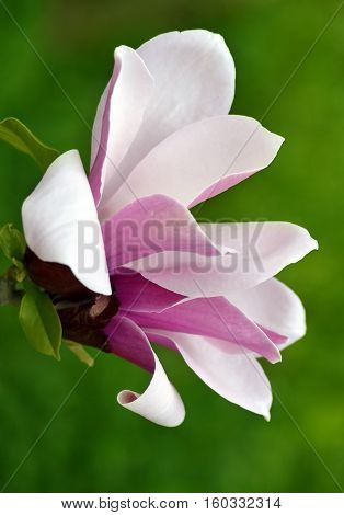 Pink magnolia flower on tree branch over green background