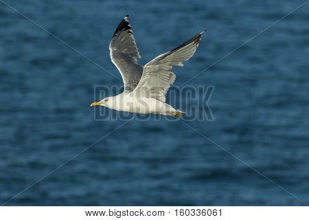 Yellow-legged gull ( Larus michahellis ) in flight off the coast of Peniche Portugal.