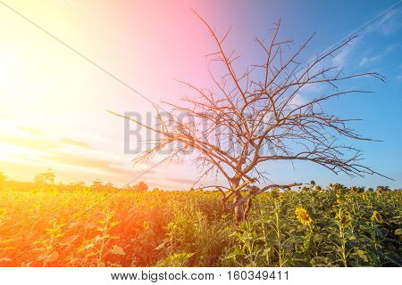 Abstract Of Dry Tree On Blue Sky Background At Sunflower Garden.